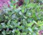 Лечебные и вредные свойства пол-палы (эрвы шерстистой)