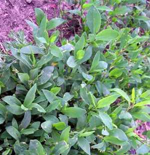 Эрва шерстистая — исцеляющая трава и уникальный природный лекарь. Трава эрвы шерстистой лечебные и вредные свойства.