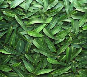 Листья эвкалипта, особенности их применения и лечебные свойства
