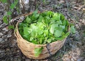 Особенности применения листьев березы в народной медицине и для похудения