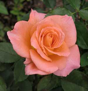 Полезные, лечебные свойства и противопоказания лепестков чайной розы