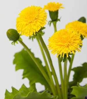 Полезные, лечебные свойства и противопоказания листьев, корня и цветов одуванчика