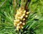 Полезные, лечебные свойства и противопоказания сосны и сосновой пыльцы