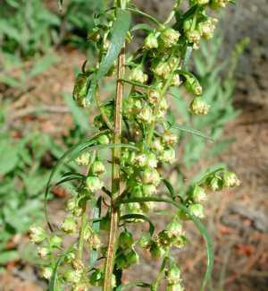 Полезные, лечебные свойства и противопоказания травы растения тархун (эстрагон)