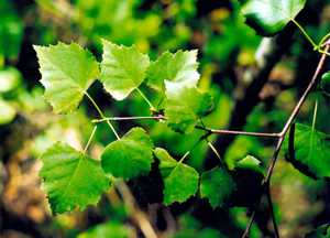 Польза и вред листьев березы для здоровья