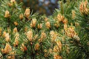Польза и вред сосновой пыльцы