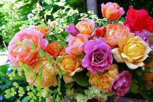 Польза и вред чайной розы для здоровья организма человека