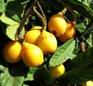 Польза мушмулы и калорийность ягод этого дерева