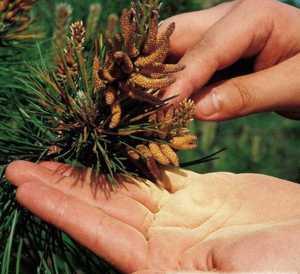 Сбор сосновой пыльцы и особенности применения этого продукта сосны