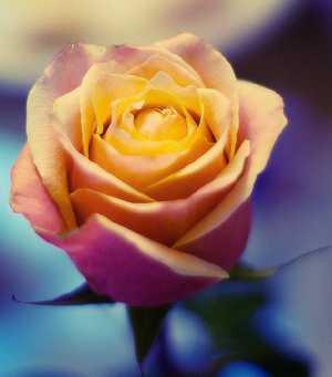 Сферы применения лепестков чайной розы