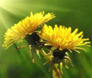 Чем полезны листья, корни и цветки одуванчика для здоровья организма человека