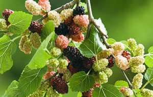 Чем полезны плоды дерева шелковицы (тутовника)