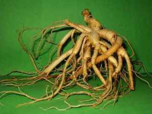 Женьшень (корень жизни) как целебное растение