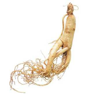 Полезные, лечебные свойства и противопоказания корня женьшеня