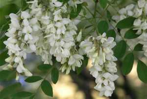 Польза и вред цветков белой акации-min