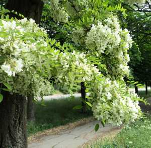 Чем полезны цветы белой акации-min