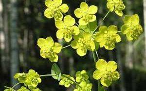 Полезные, лечебные свойства и противопоказания к применению володушки золотистой
