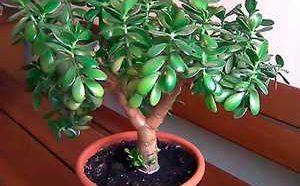 Полезные, лечебные свойства и противопоказания к применению денежного дерева (толстянки)