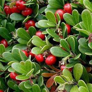 Полезные, лечебные свойства и противопоказания к применению листьев толокнянки