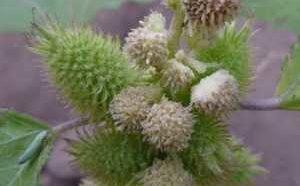 Полезные, лечебные свойства и противопоказания к применению травы дурнишника обыкновенного