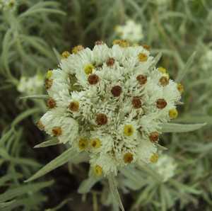 Полезные, лечебные свойства и противопоказания к применению травы сушеницы топяной (болотной)