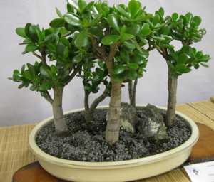 Польза и вред денежного дерева (толстянки) для здоровья организма