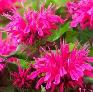 Цветок монарда как лекарственное растение