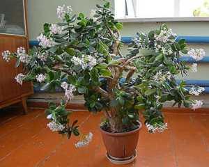 Чем полезно денежное дерево (толстянка) для здоровья и похудения организма