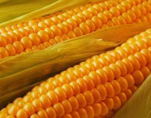 Полезные, лечебные свойства и противопоказания к применению кукурузы