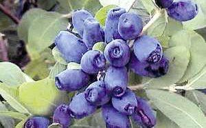 Полезные, лечебные свойства и противопоказания к применению ягод и листьев жимолости