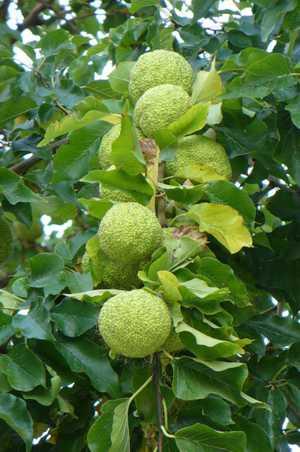 Польза и вред адамова яблока (маклюры), его применение в народной медицине