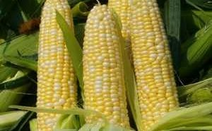 Польза и вред сырой, вареной и консервированной кукурузы для здоровья организма человека-min