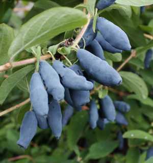 Польза и вред ягод и листьев жимолости для здоровья организма человека
