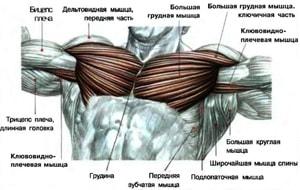 строение мышц груди