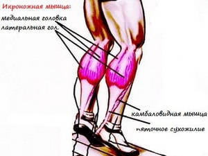 анатомия икроножных мышц