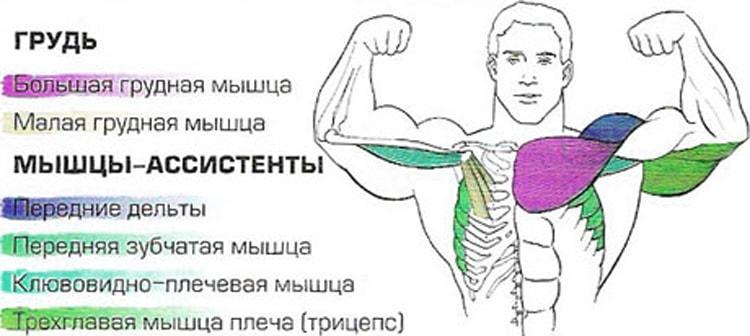 мышцы которые качаются во время отжиманий