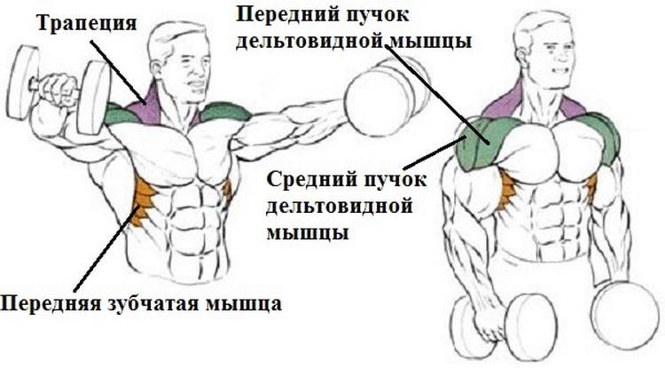 мышцы которые задействованы в махах гантелями