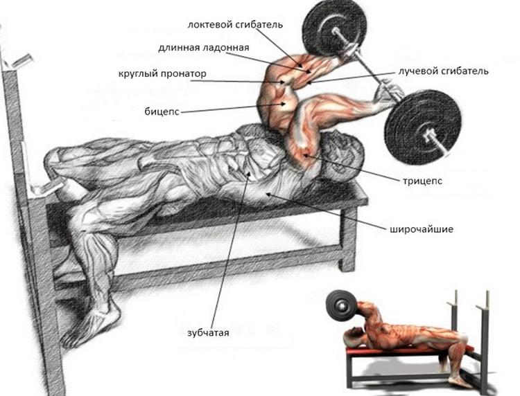 анатомия упражнения французский жим