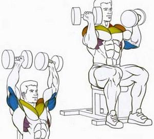 анатомия мышц которые работают в жиме арнольда