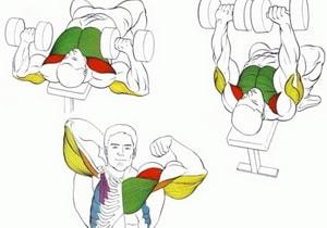 мышцы при жиме гантелей лежа