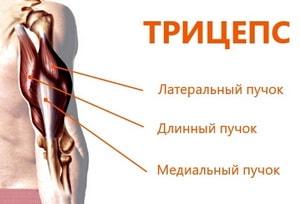 строение трицепса